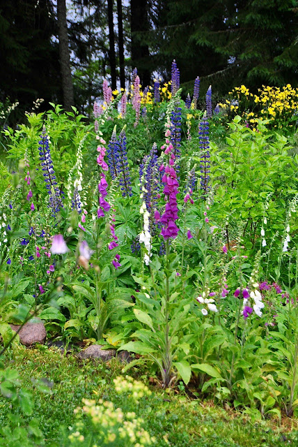 Digitalis_purpurea_Fingerborgsblomma