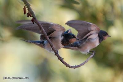 Juvenils d'oreneta vulgar (Hirundo rustica)
