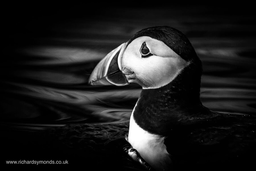 13-Puffin-Richard-Symonds-www-designstack-co
