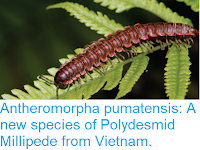 https://sciencythoughts.blogspot.com/2018/12/antheromorpha-pumatensis-new-species-of.html