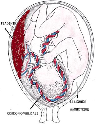 comment se développe mon bébé dans mon ventre?