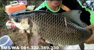 Essen Aroma Sereh Untuk Ikan Mas Babon