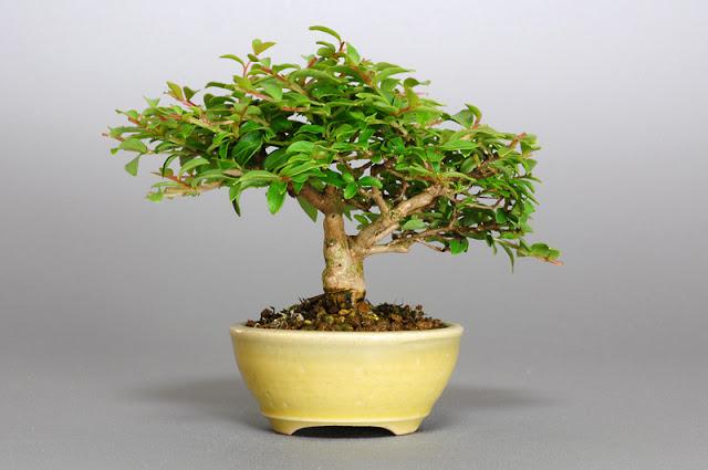 サルスベリ-P1-2(百日紅盆栽 )Lagerstroemia indica bonsai