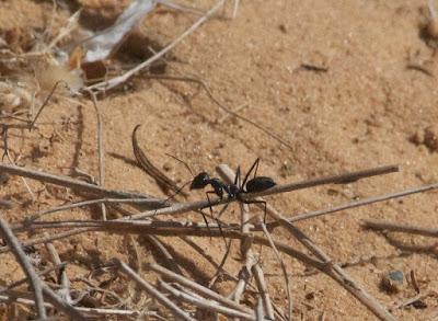 Ant sp