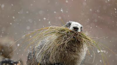 Hoary marmot in Denali National Park, Alaska