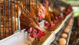 kafeste yumurta üretimi nasıl yapılır - KahveKafeNet