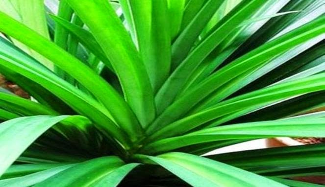 Top Benefits of Pandan Leaves for Health and Beauty