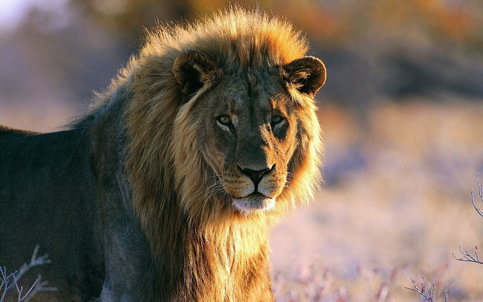 African Lion New Hd Wallpapers 2013   Beautiful And Dangerous Animals/Birds Hd Wallpapers