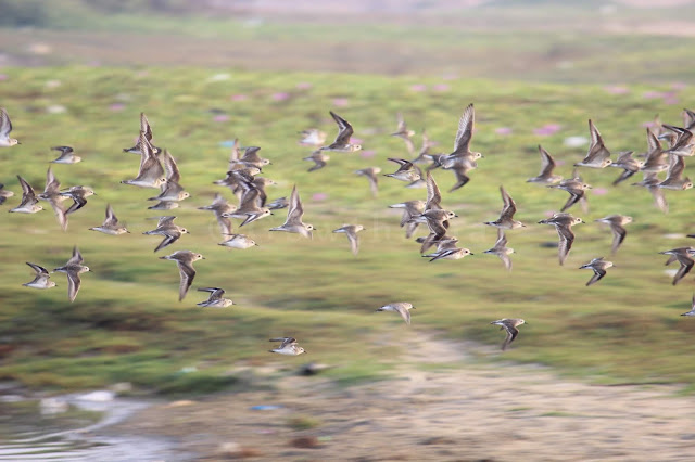 Flock of Lesser Sand Plovers