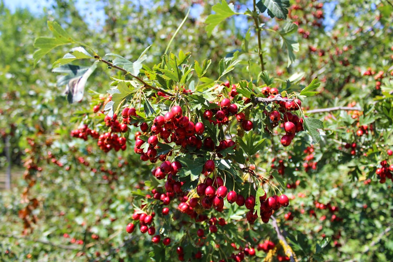 La rioja natural crataegus monogyna for Arbol de frutos rojos pequenos