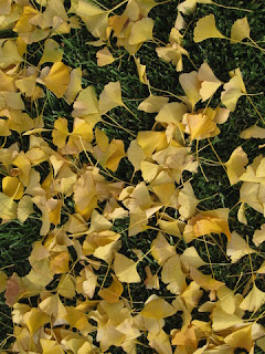 Saffron yellow ginkgo leaves on green grass, San Jose, California
