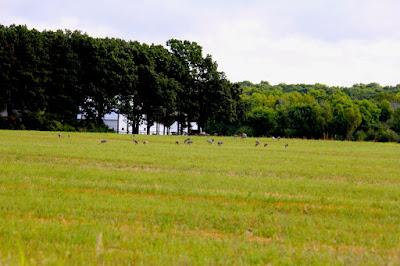 sandhill cranes in St. Croix river valley fields