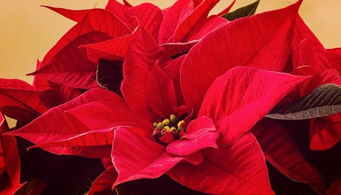 La flor de navidad