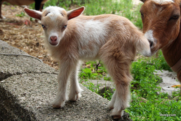 Cute Goats New Photos Images Funny And Cute Animals
