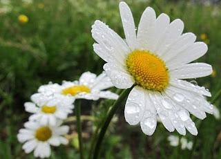 bunga aster putih lamongan34