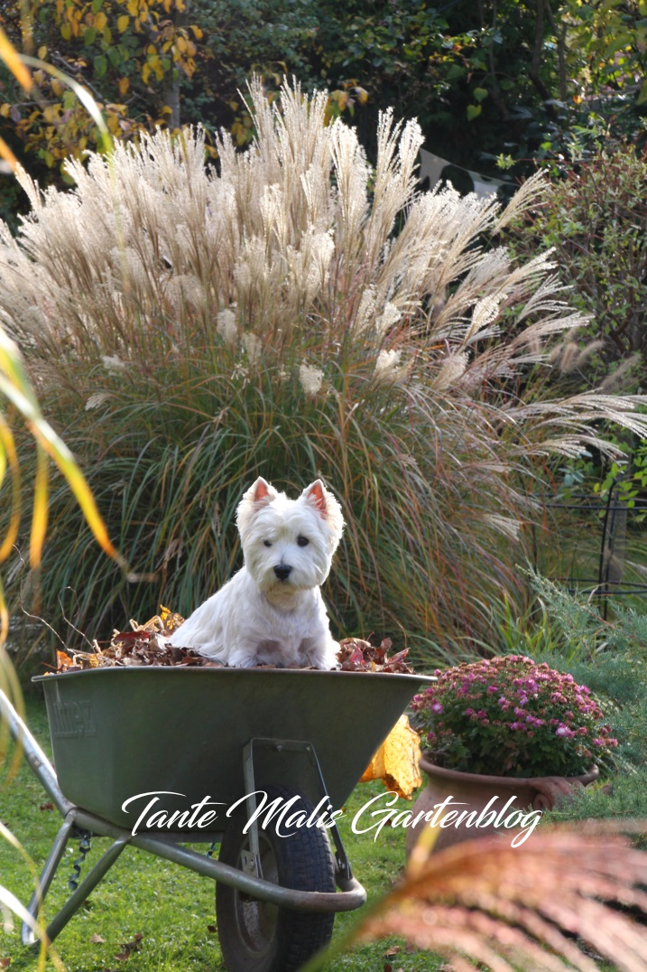 West Highland Terrier in Schubkarre