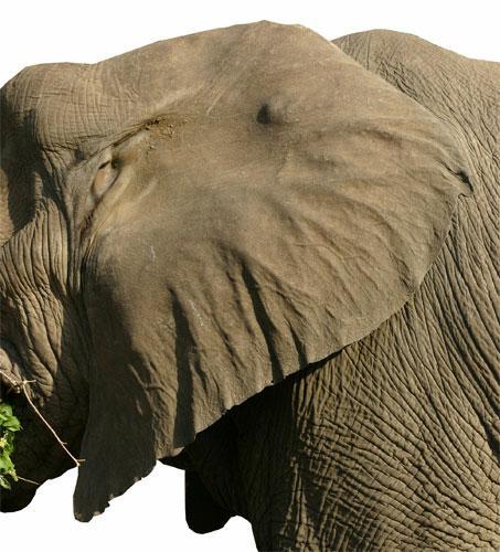 Phos To Alethinon The Evolution Of Elephant Ears
