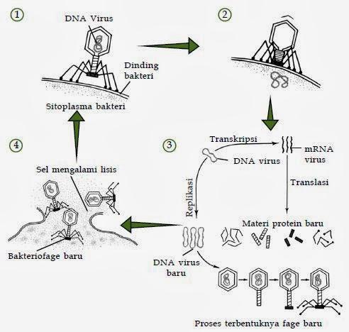 Penjelasan Tentang Reproduksi Virus Biologi Indonesia