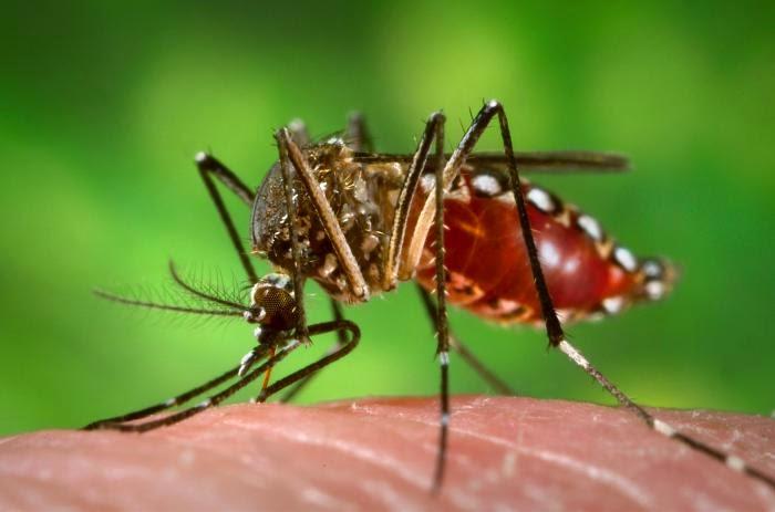 Aedes Aegypti Dibudidayakan