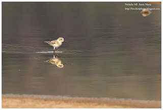 https://bioclicetphotos.blogspot.fr/search/label/Gravelot%20de%20Leschenault%20-%20Charadrius%20leschenaultii%20KNY