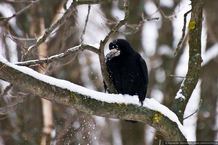 Грач в снегу