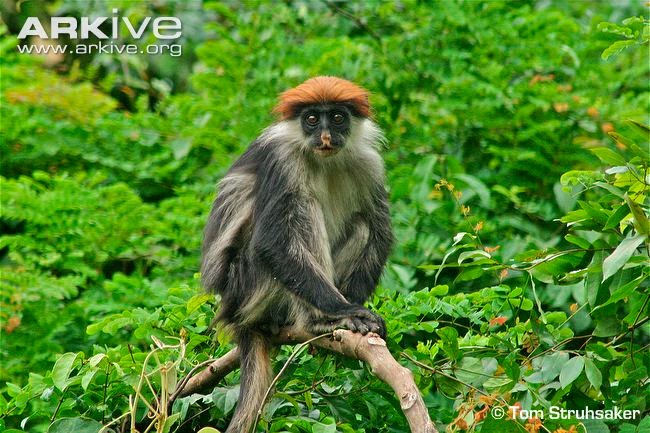 african red colobus