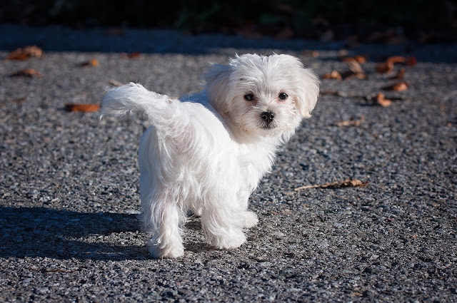 White Dog Breeds List, Black and White Dogs