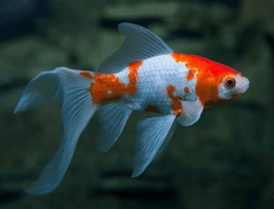 Ikan Perusak Aquascape - Ikan Komet