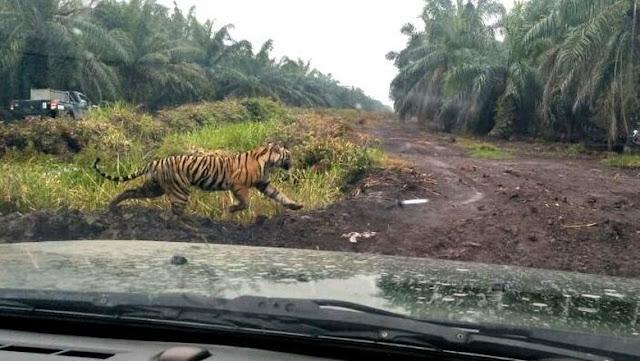 Harimau Bonita Dikepung dari 3 Penjuru