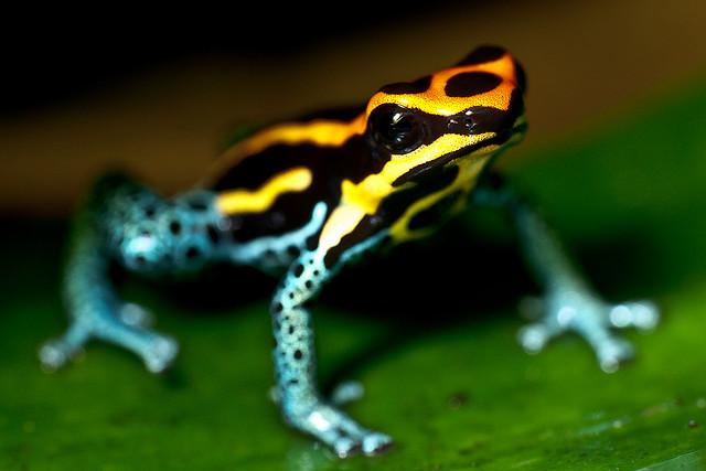 Poison Dart Frog - Introspective World