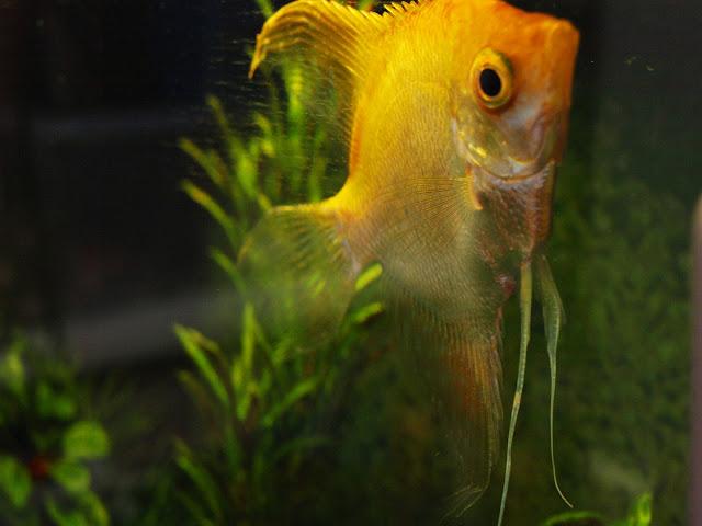 Scalare pesce tropicale Ignatio