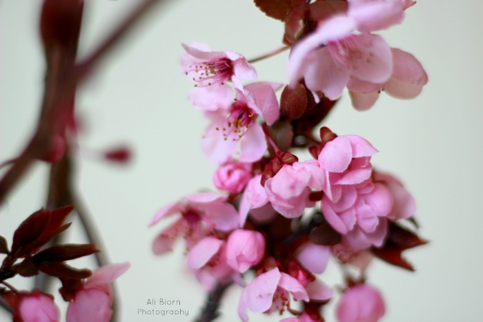 beautiful and delicate pink cherry tree blossoms