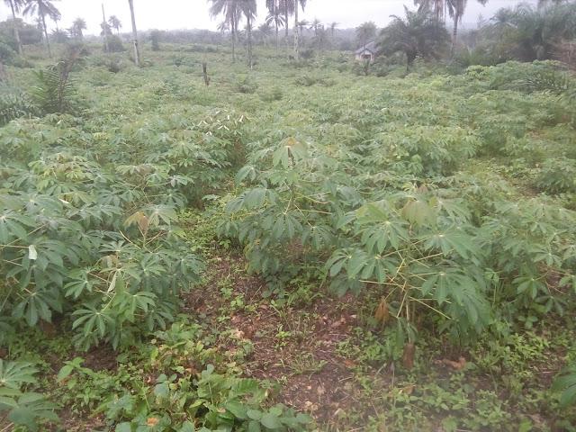 COST OF PLANTING CASSAVA