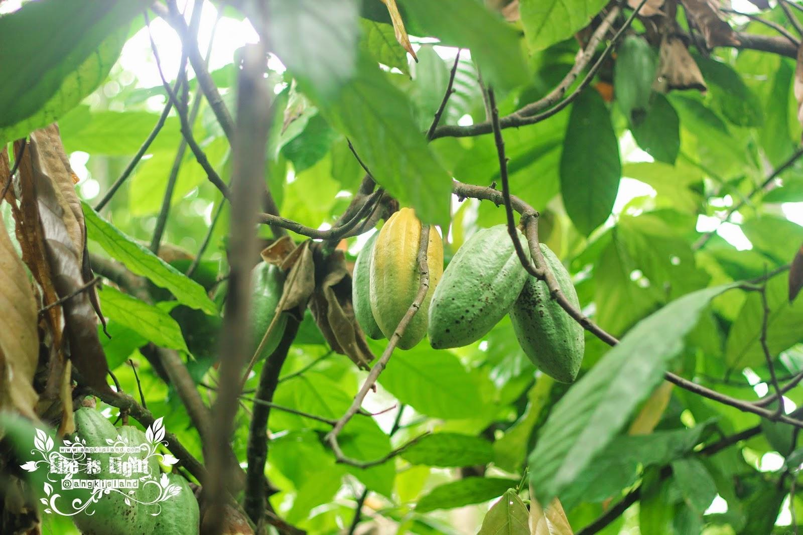 kakao kulonprogo