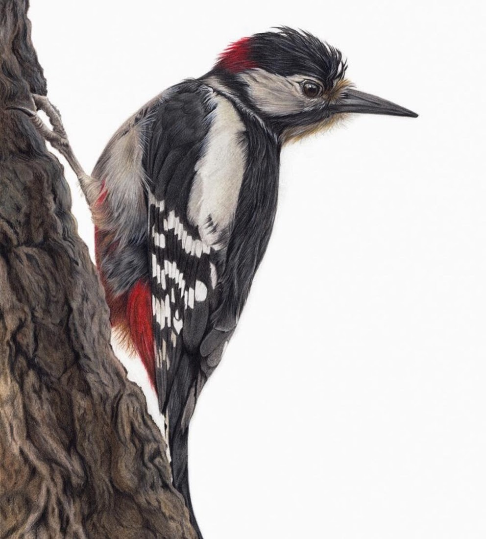 05-Woodpecker-Claire-Milligan-Cats-birds-and-Dogs-Realistic-Animal-Drawings-www-designstack-co