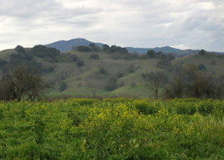 Yellow wildflowers in a field leading to olive green, oak-studded hills, San Jose, California