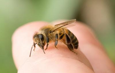 Cách xử trí, điều trị ong đốt