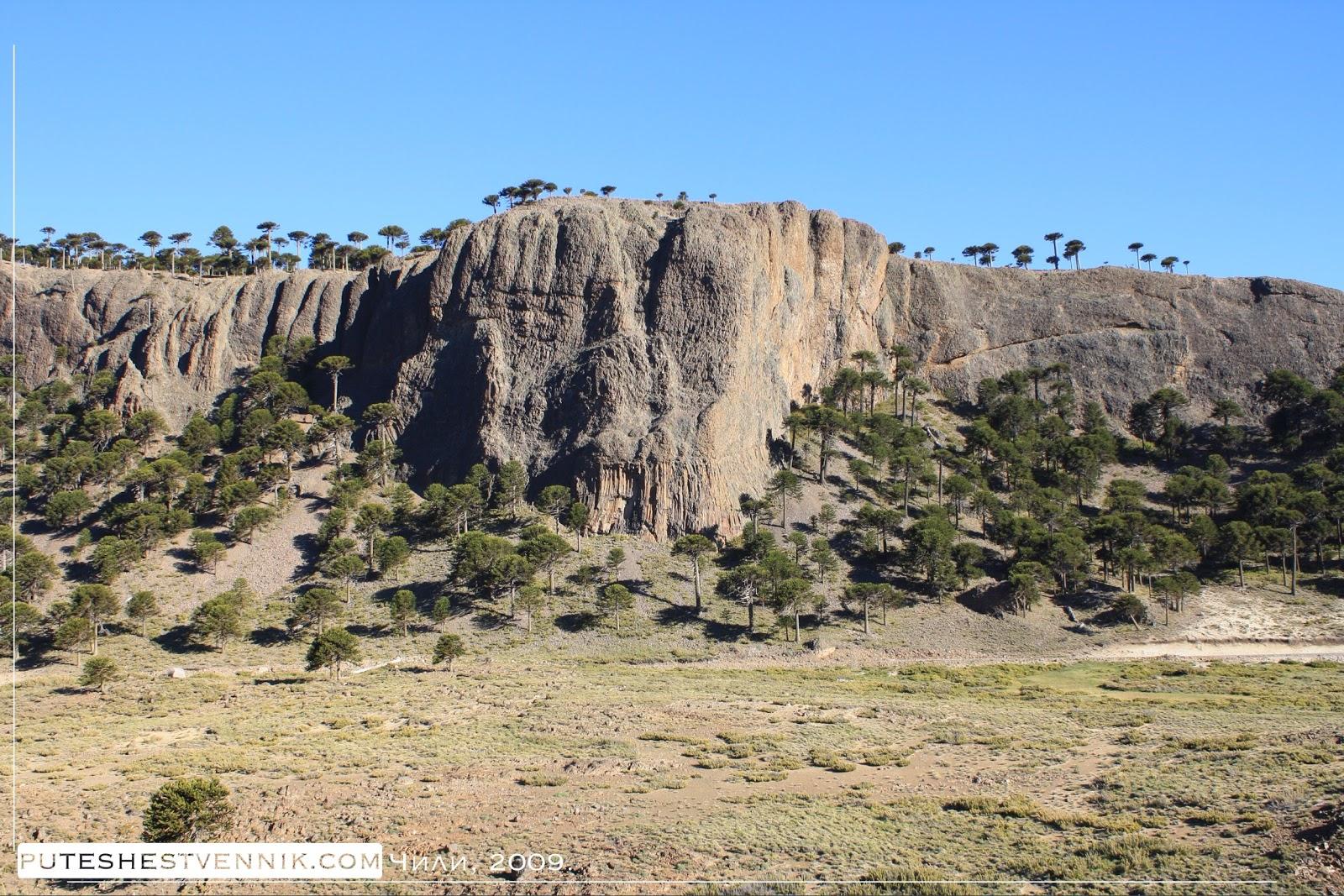 Араукарии в Чили