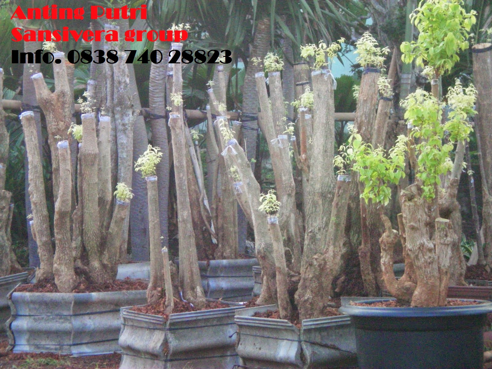 anting-putri-bonsai
