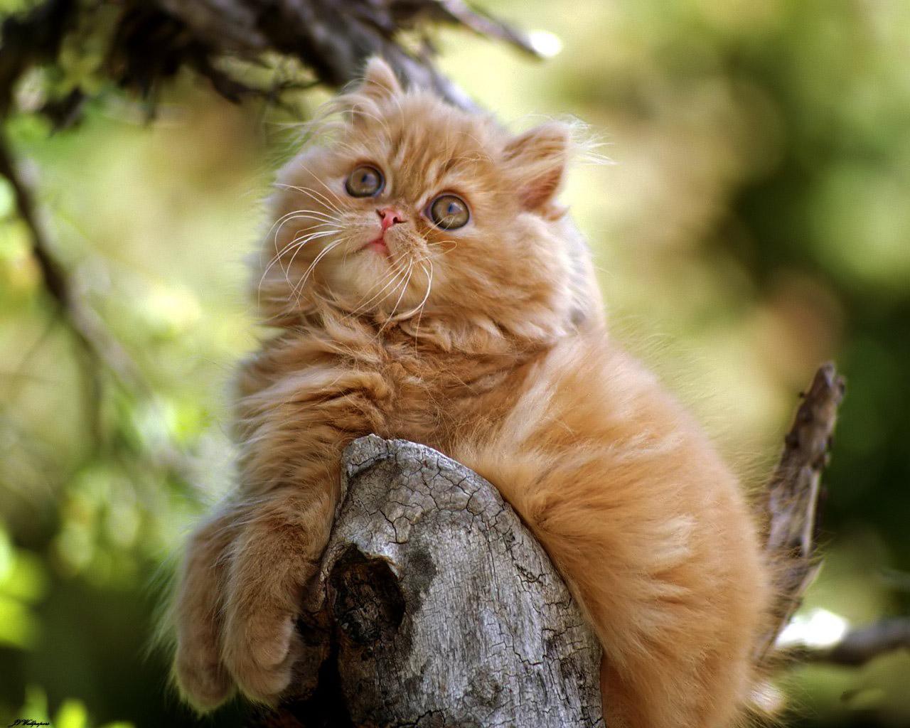 Images Of Gambar Kucing Calto