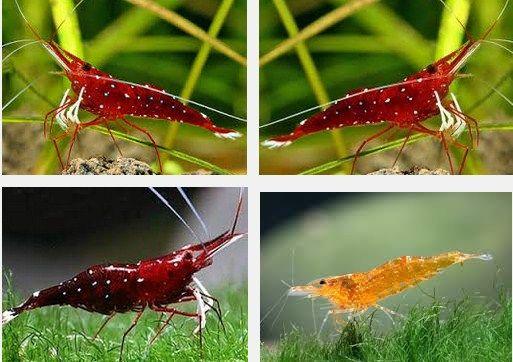 Ini Dia Udang Hias Cardinal, Asli Indonesia Yuk Kita Kenali Invertebrata Ini