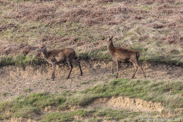 Two calves showing some legs, finding some easy grazing on the eroded hillside.