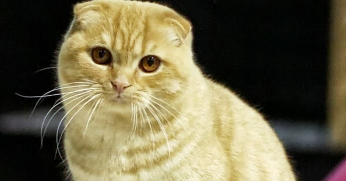 Scottish Fold Cat Size Weight And Life Expectancy Annie Many