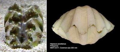 Kima cina (Hippopus porcellanus)