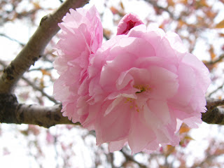 Gambargambar bunga sakura Yang Indah dan Cantik  Gambat