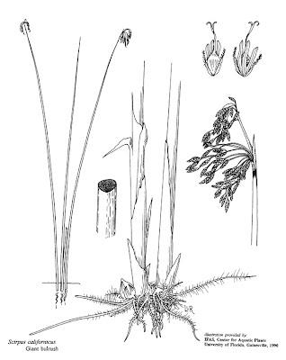 Junco Schoenoplectus californicus