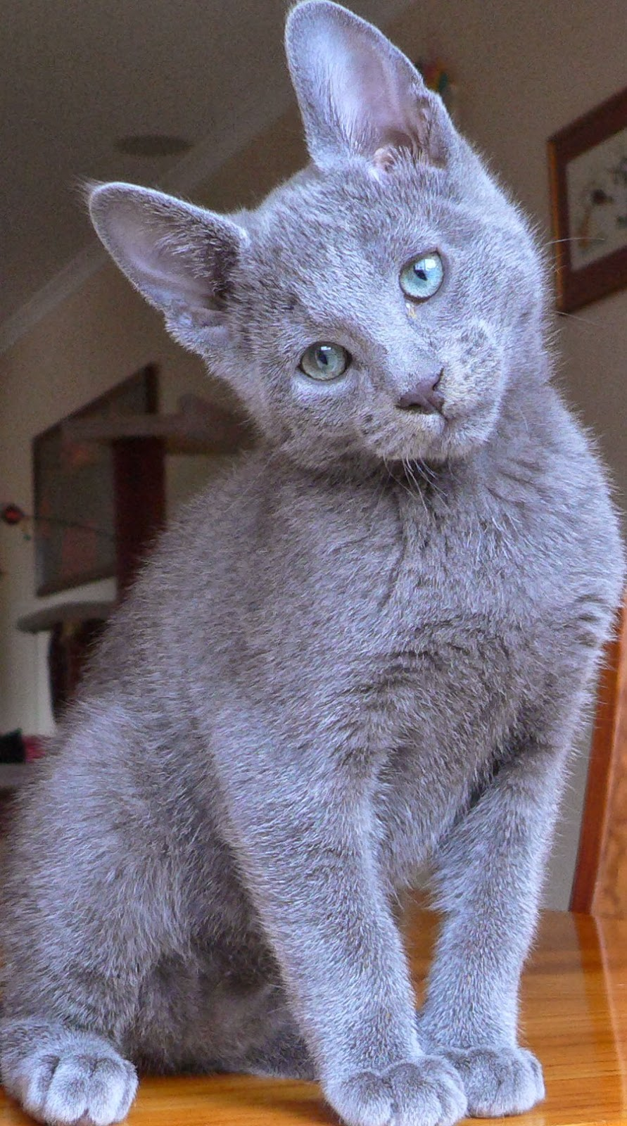 Russian Blue Cat Temperament Personality And Grooming Annie Many