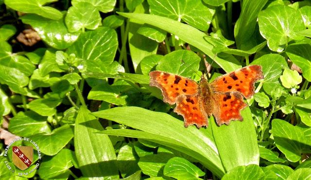 Papillon Robert le Diable (Polygonia c-album) - Forêt de Vilcey-sur-Trey (54)