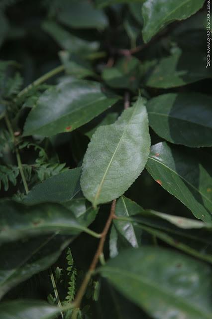 Feuille de Prunus serotina
