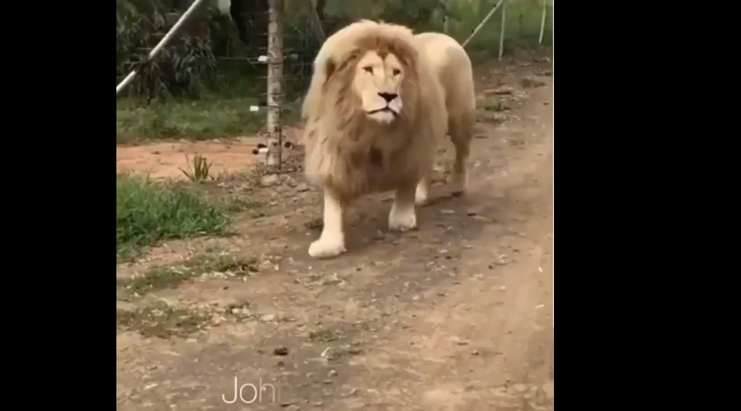 World's first singing lion.